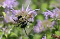 Carpenter Bee on Wild Bergamot