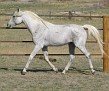 SHALIMAR ALEX #478157 (Shalimar Pina x Shalimar Collette) 1991 grey stallion