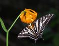 Cats - Tiger Swallow tail on Lepord Lilly